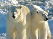 IJsbeer, urso polar, maritimus do Ursus fotos de stock royalty free