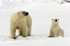 IJsbeer, urso polar, maritimus do Ursus imagem de stock