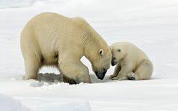IJsbeer, Ijsbeer, Ursus-maritimus stock foto