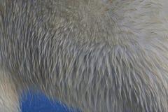 IJsbeer, Ijsbeer, Ursus-maritimus stock foto's