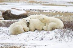 Ijsbeerwelpen die zich met mamma nestelen Royalty-vrije Stock Fotografie
