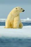Ijsbeerzitting op afwijkingsijs met sneeuw Wit dier in de aardhabitat, Canada De status van ijsbeer in het koude overzees polair stock foto