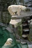 Ijsberen Royalty-vrije Stock Afbeelding