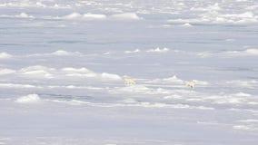 Ijsberen die in het noordpoolgebied lopen stock footage