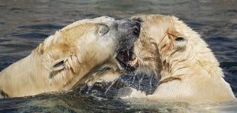 Ijsberen die in overzees spelen stock afbeelding