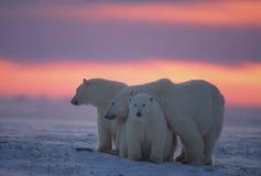 Ijsberen in het Canadese Noordpoolgebied Royalty-vrije Stock Afbeelding