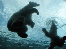 Ijsberen het Zwemmen Royalty-vrije Stock Afbeeldingen