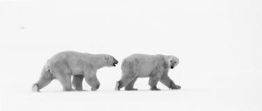 Ijsberen op een gewassen omhoog potvis royalty-vrije stock foto's