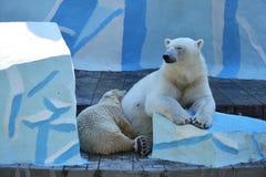Ijsberen op een gewassen omhoog potvis Royalty-vrije Stock Afbeeldingen