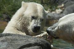 Ijsberen op een gewassen omhoog potvis Royalty-vrije Stock Foto