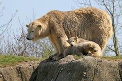 Ijsberen op een gewassen omhoog potvis Stock Afbeelding