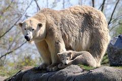 Ijsberen op een gewassen omhoog potvis Stock Foto