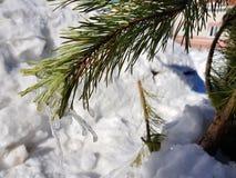 Ijskegels of bevroren ijs op een tak van een Kerstboom of een pijnboom in de stralen van de zon in de winter of de lente royalty-vrije stock afbeelding