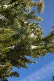 Ijskegels in een boom Stock Foto