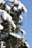 Ijskegels en sneeuw op pijnboomboom, het eind van de winter Royalty-vrije Stock Foto's