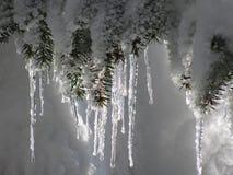 Ijskegels op een nette boom Royalty-vrije Stock Afbeeldingen