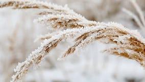 Ijskristallen op bevroren grasbladen in de winter stock video