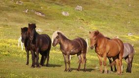 IJsland. Ijslandse paarden die op het gras weiden. Royalty-vrije Stock Foto