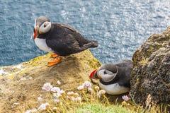 IJsland, klippen Latrabjarg - het wild. Stock Afbeelding