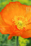 IJsland Poppy Orange Stock Afbeelding