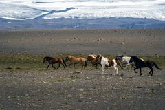 Trotting Icelandic horses. A small herd of Icelandic horses run on the plain in the interior of Iceland stock photos