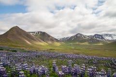 Ijslands groen landschap met purpere bloemen Royalty-vrije Stock Foto's
