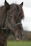 Ijslands Paard royalty-vrije stock foto
