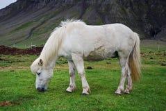 Ijslands paard royalty-vrije stock afbeeldingen