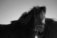 Ijslands paard Stock Foto's