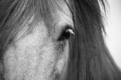 Ijslands paard Stock Afbeeldingen
