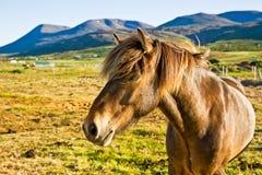 Ijslands paard in een landbouwbedrijf recente avond. Stock Foto's