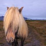 Ijslands Paard met het indruk maken van op manen Royalty-vrije Stock Foto's
