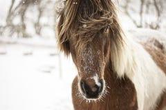 Ijslands paard in sneeuwweer Stock Foto's