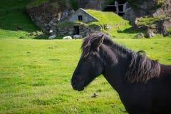 Ijslands Paard voor een historische holwoning Royalty-vrije Stock Fotografie