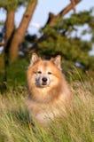 Ijslandse herdershond stock fotografie