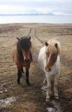 Ijslandse paarden Royalty-vrije Stock Foto's