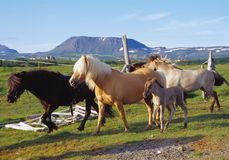 Ijslandse Paarden Royalty-vrije Stock Afbeelding