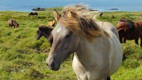 Ijslandse paarden royalty-vrije stock afbeeldingen