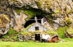 Ijslandse paarden Stock Foto's