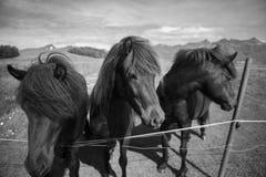 Ijslandse paarden Stock Foto