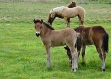 Ijslandse paarden, een veulen in het centrum stock afbeelding