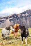 Ijslandse Paarden op de aardlandschap van IJsland Stock Foto's