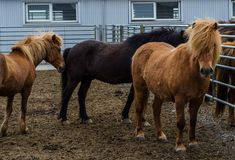 Ijslandse paarden op het landbouwbedrijf in IJsland royalty-vrije stock foto's