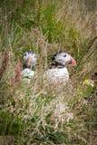 Ijslandse papegaaiduikers in het gras stock foto's