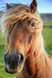Ijslandse poney Stock Foto