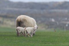 Ijslandse schapen Ãslenska sauðkindin stock foto