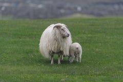 Ijslandse schapen Ãslenska sauðkindin royalty-vrije stock foto's