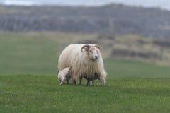 Ijslandse schapen Ãslenska sauðkindin royalty-vrije stock afbeeldingen