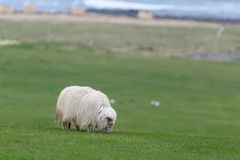Ijslandse schapen Ãslenska sauðkindin royalty-vrije stock foto