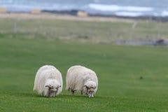 Ijslandse schapen Ãslenska sauðkindin stock foto's